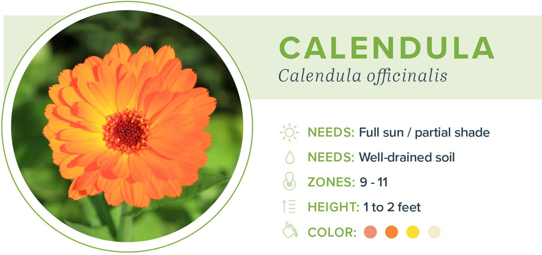annual flowers calendula information