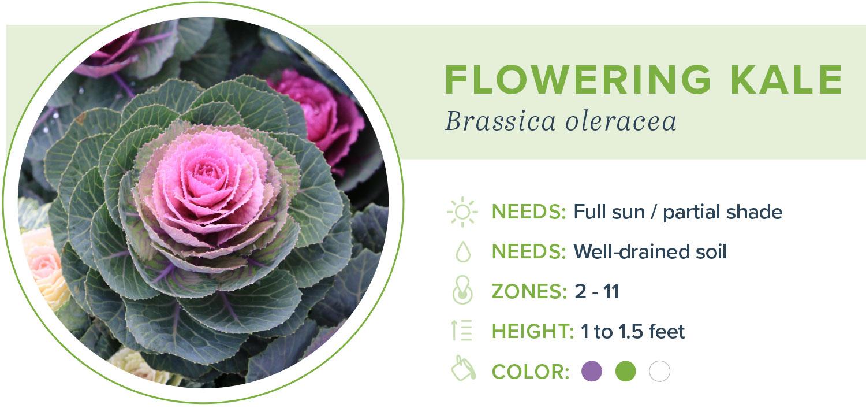 annual flowers flowering kale