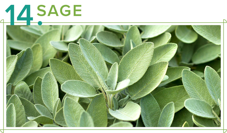 sage medicinal plants