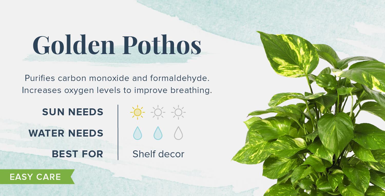 golden pothos plants that help you sleep
