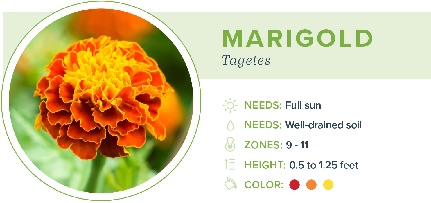 annual flowers marigold information