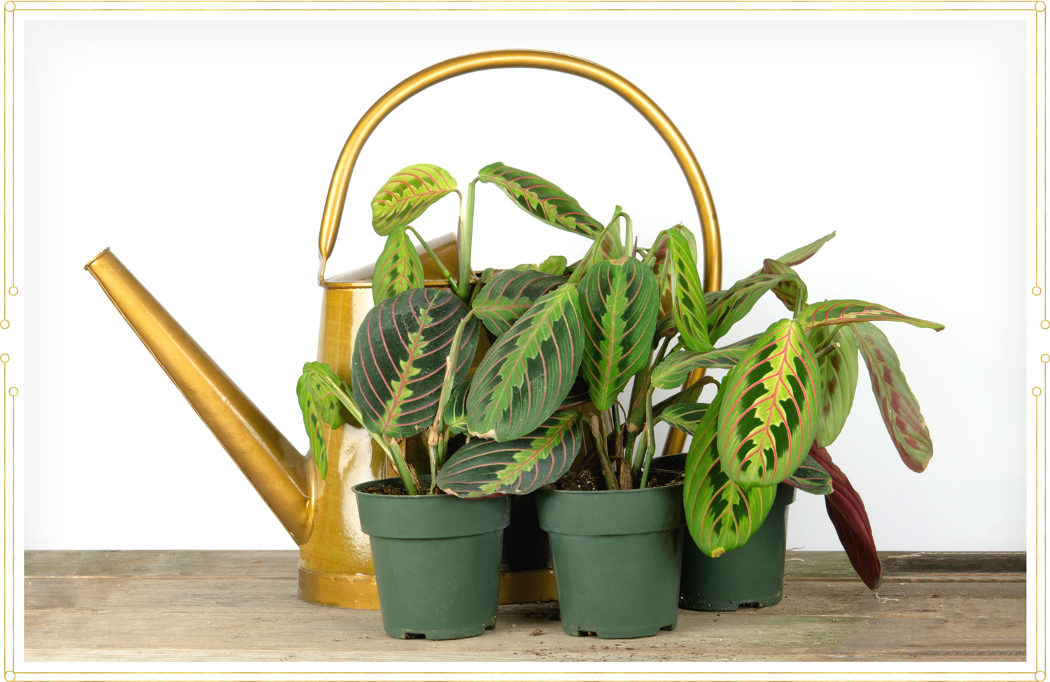 image of three green prayer plants in front of a gold watering pot