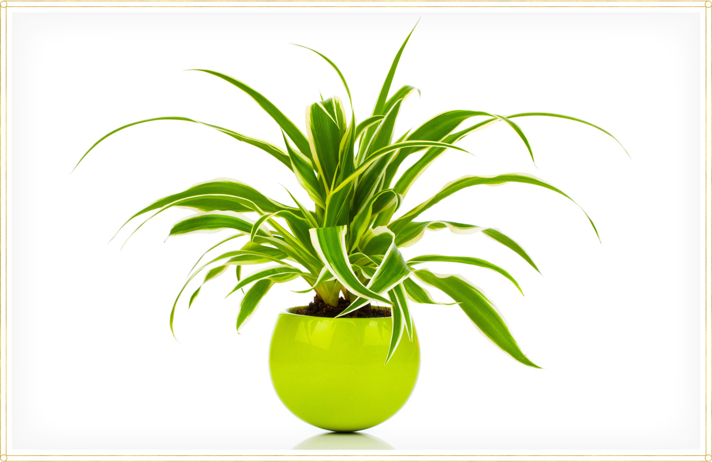 spider plant care chlorophytum comosum reverse variegatum