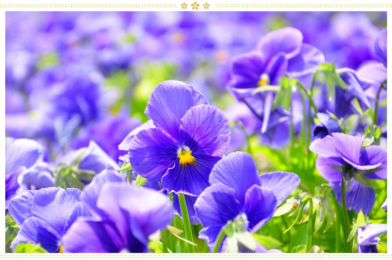 japanese flowers sumire