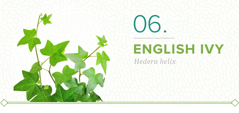 english ivy plants that don't need sun