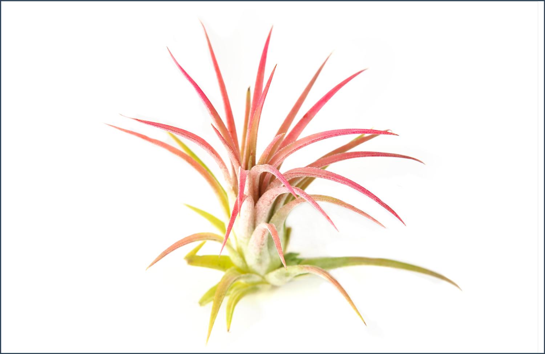 Tillandsia ionantha (fuego) image