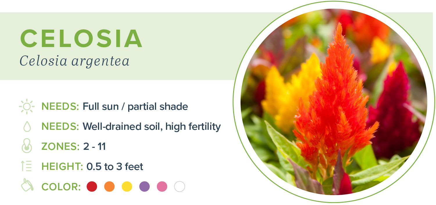 annual flowers celosia information