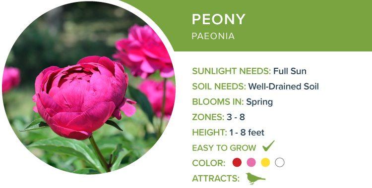 peony best perennials for sun