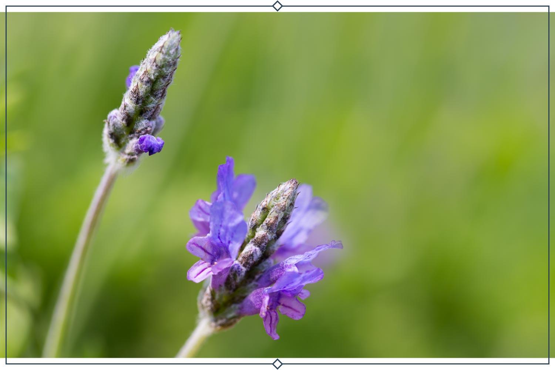 egyptian lavender type