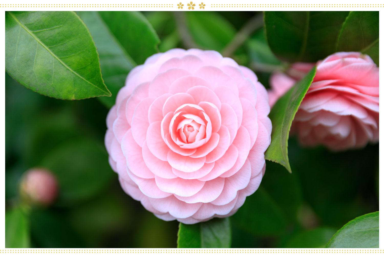 japanese flowers tsubaki