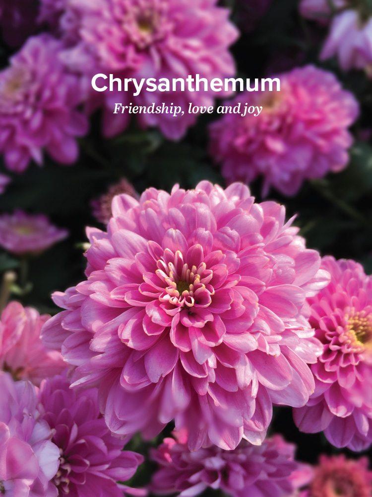 body-chrysanthemum