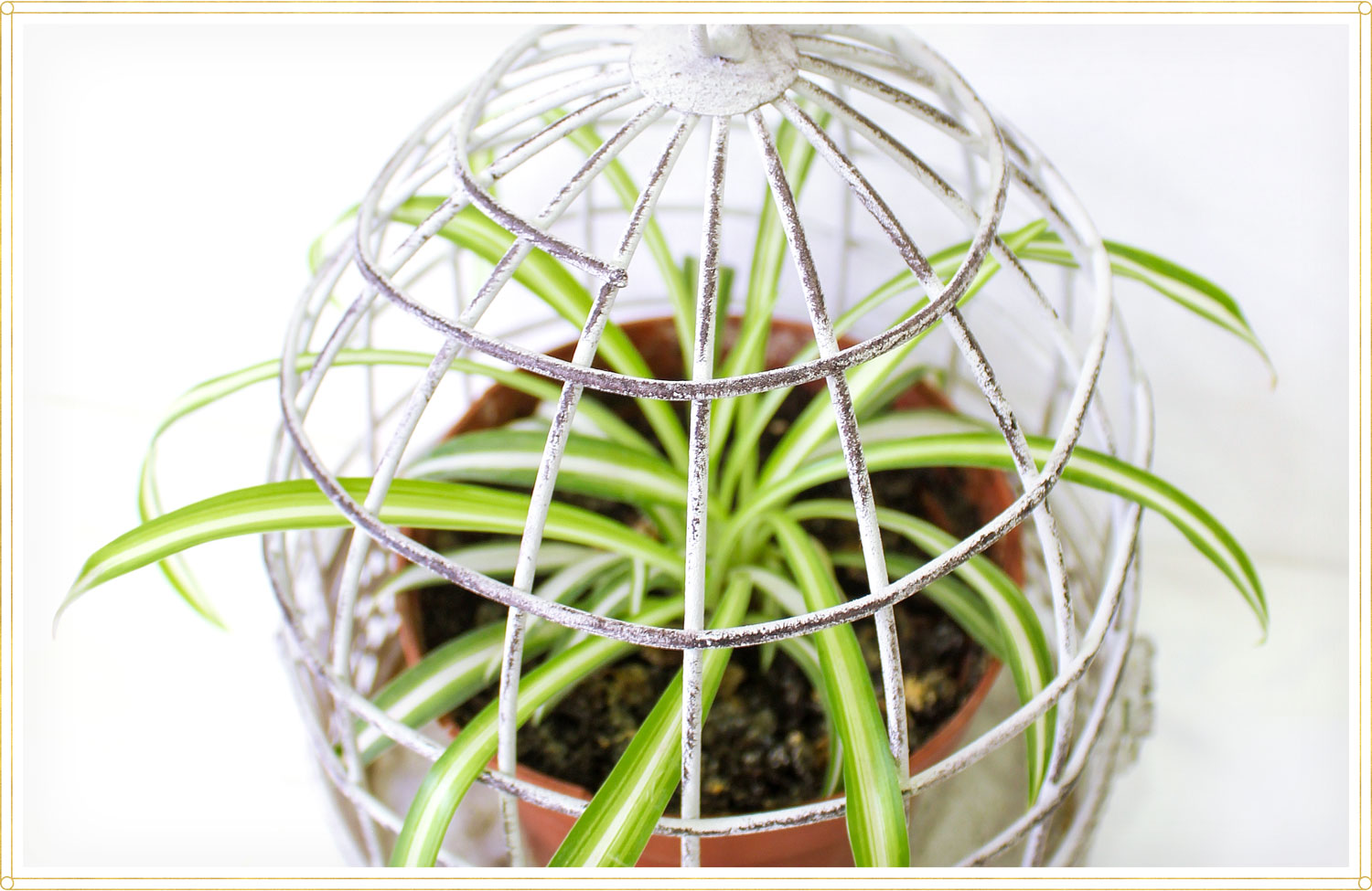 potted spider plant in cage