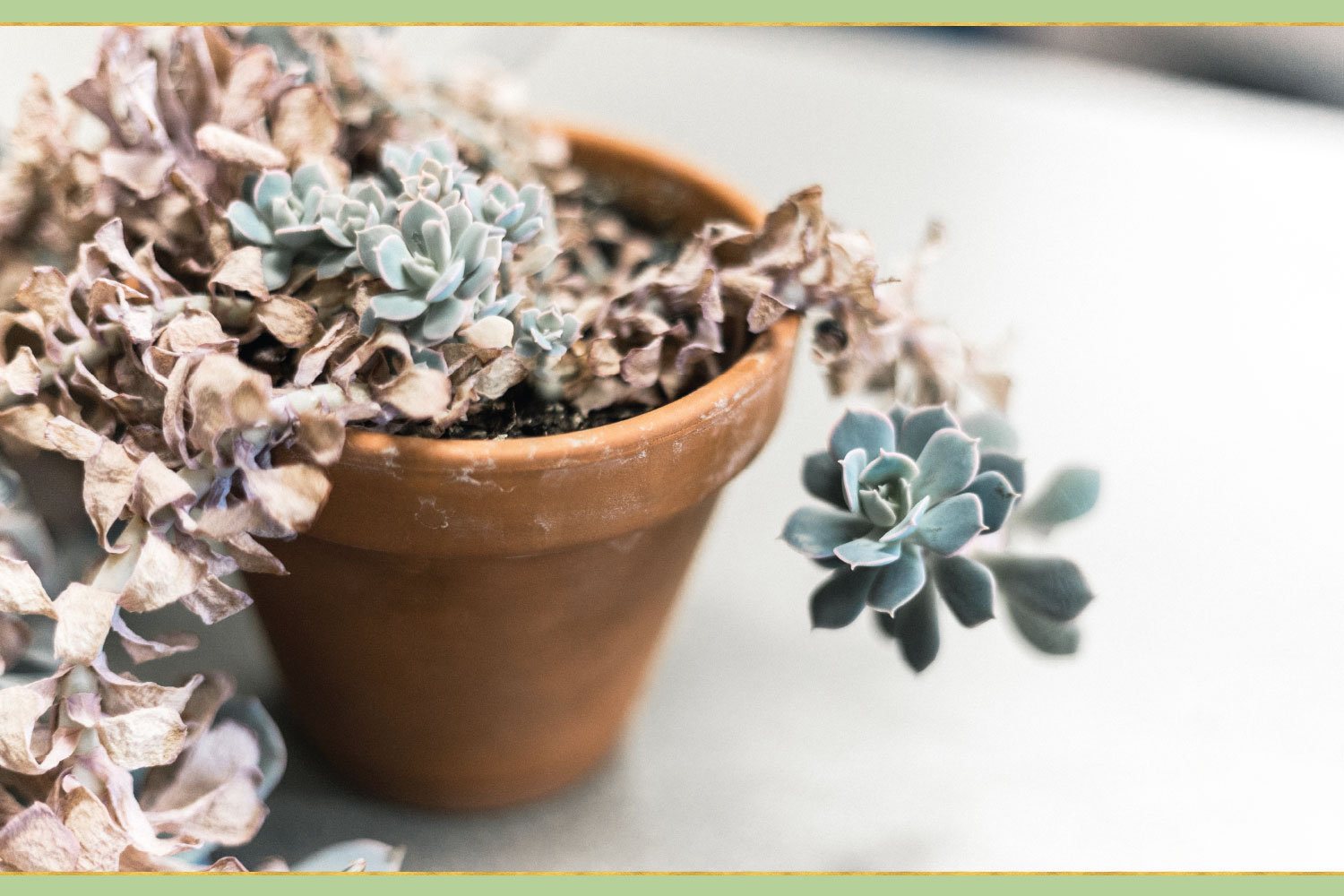 dying succulent plant