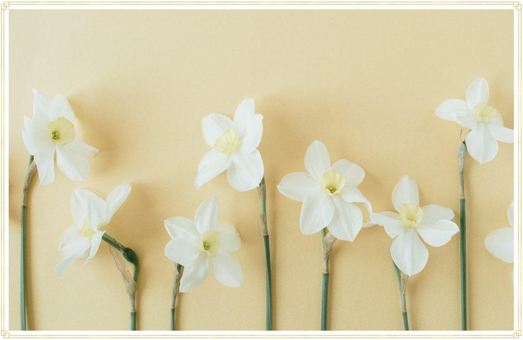 flat lay of daffodils