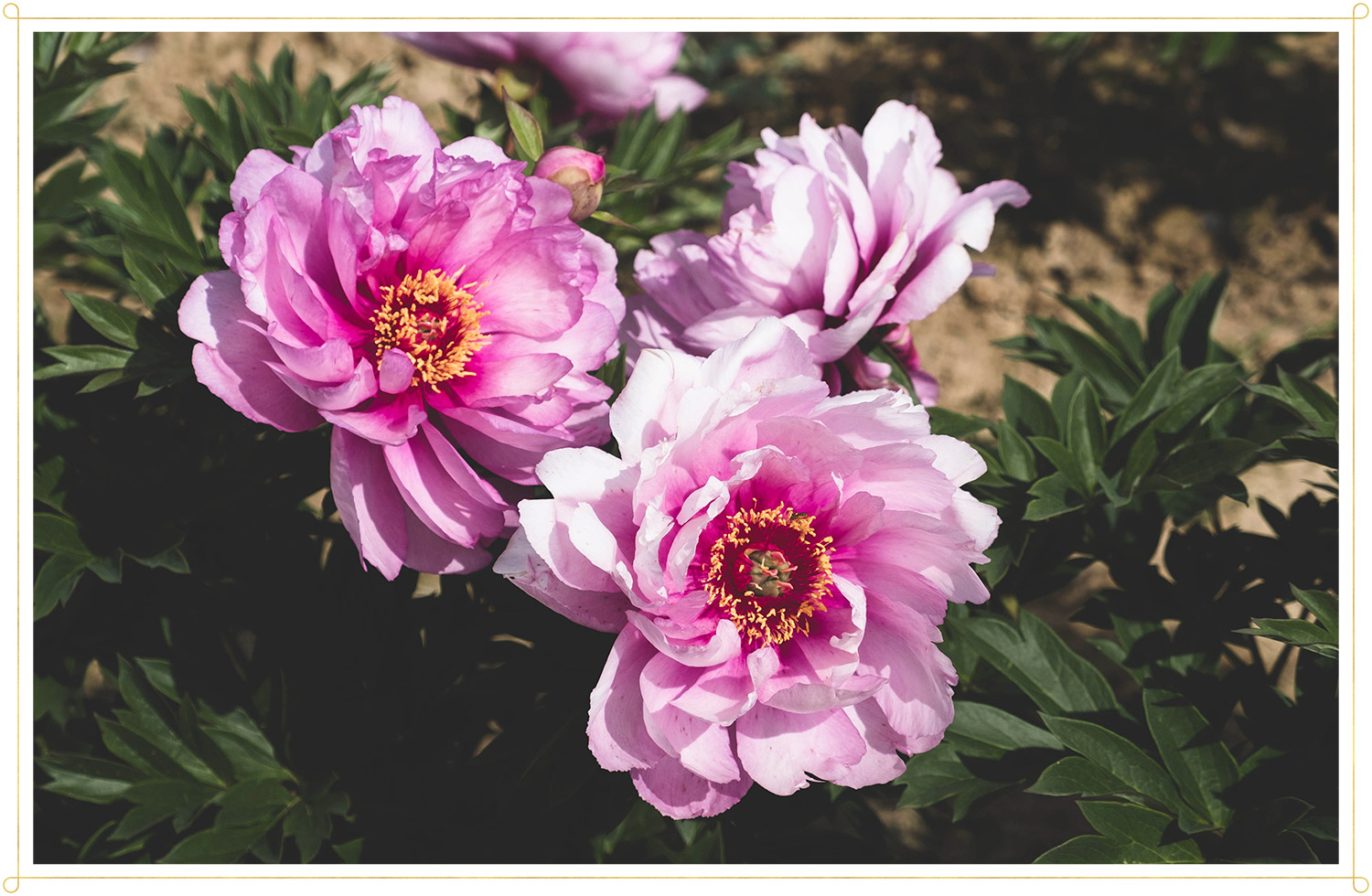 first arrival peonies