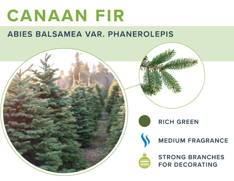 types of christmas trees canaan
