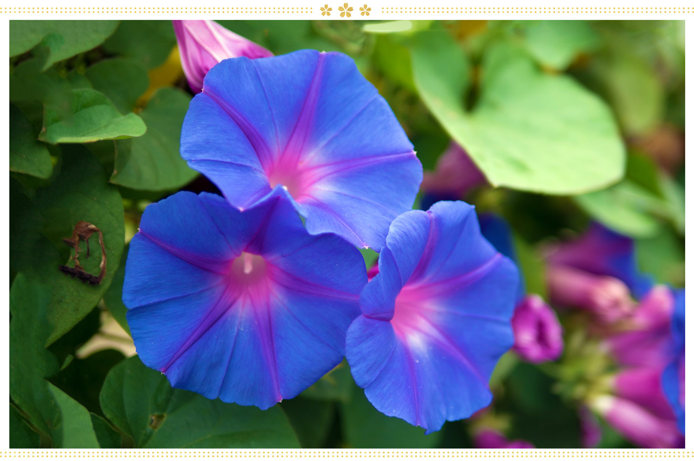 japanese flowers asagao