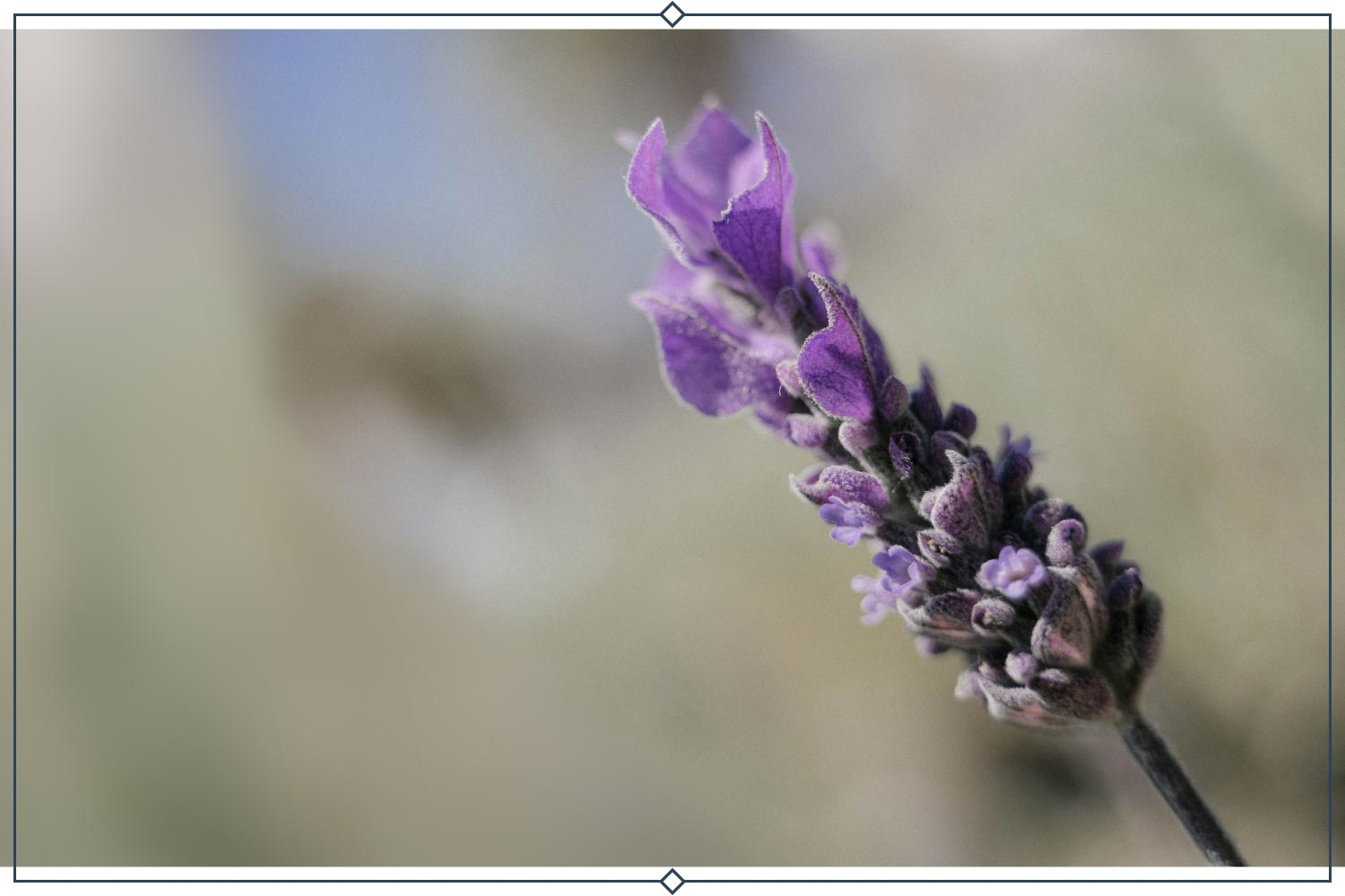french lavender type