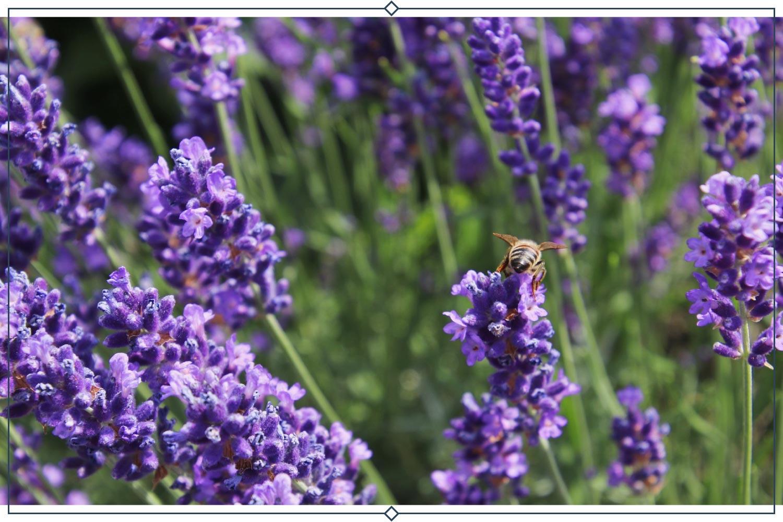 lavenite petite lavender type