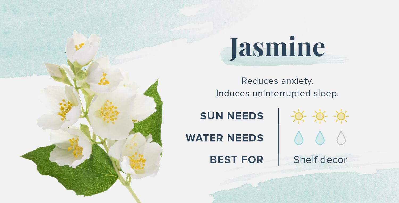 jasmine plants that help you sleep