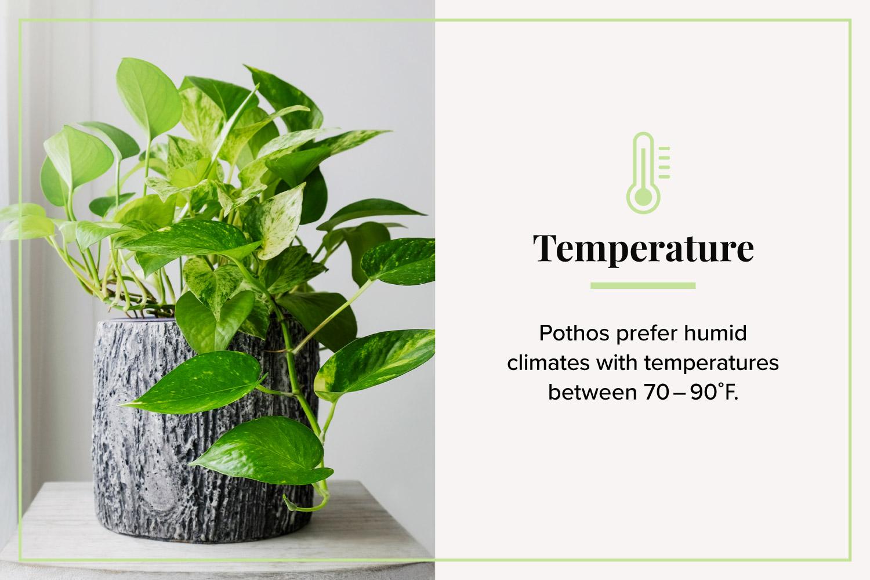 temperature pothos in window