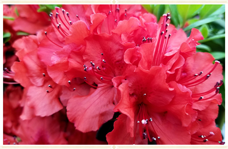 image of a hot pink or girard azalea flower