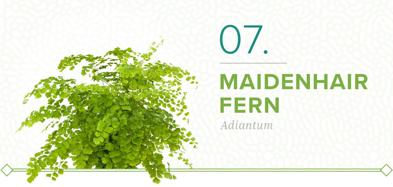 maidenhair fern plants that don't need sun