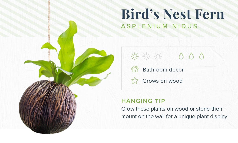 bird's nest fern indoor hanging plants
