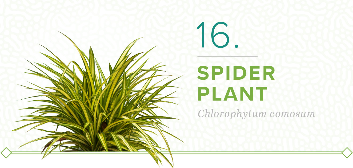 spider plants that don't need sun