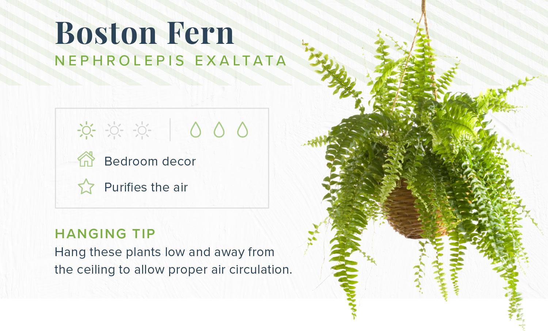 boston fern indoor hanging plants