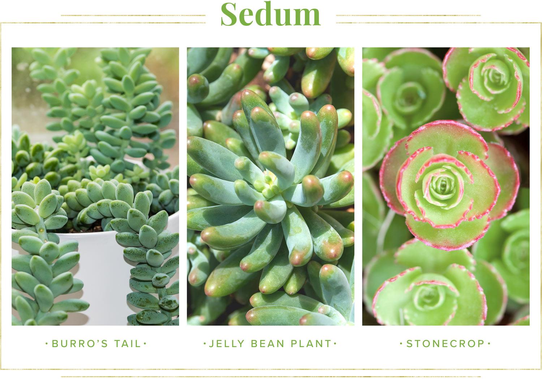 sedum types of succulents