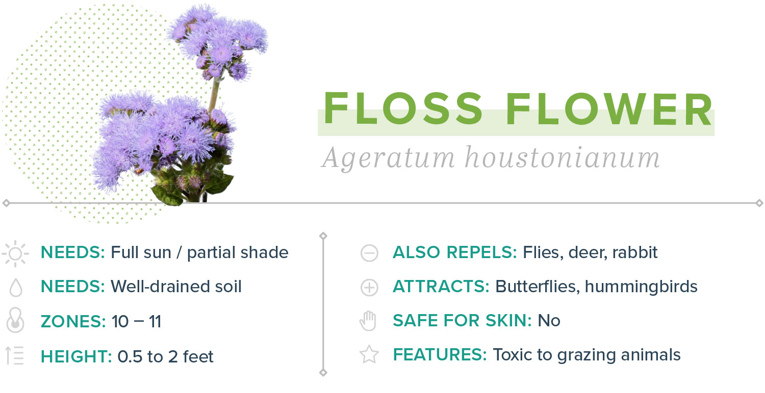floss flower plants that repel mosquitoes