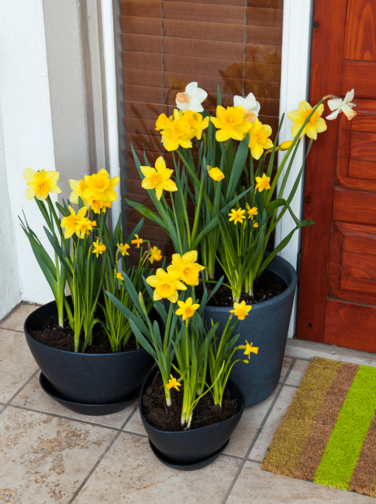 Daffodil bulb garden containers on a front porch