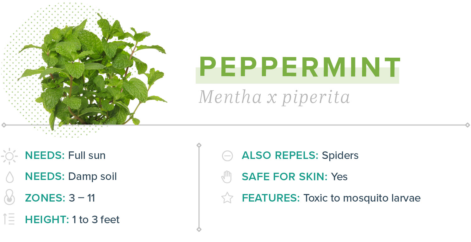 peppermint plants that repel mosquitoes