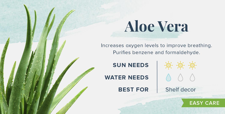 aloe vera plants that help you sleep