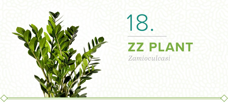 zz plants that don't need sun