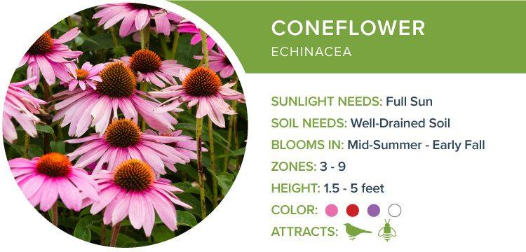 best perennials for sun coneflower