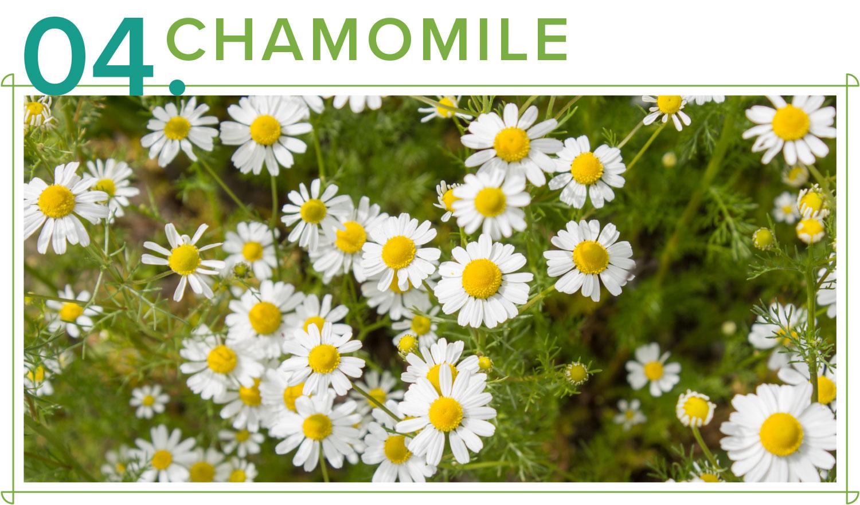 chamomile medicinal plants