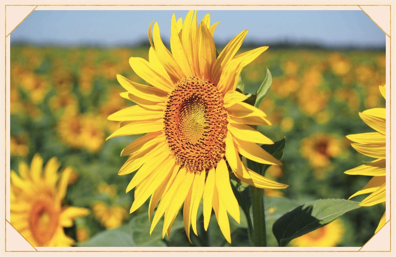head of yellow sunflower facing the sun
