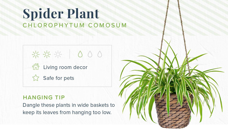 spider plant indoor hanging plants