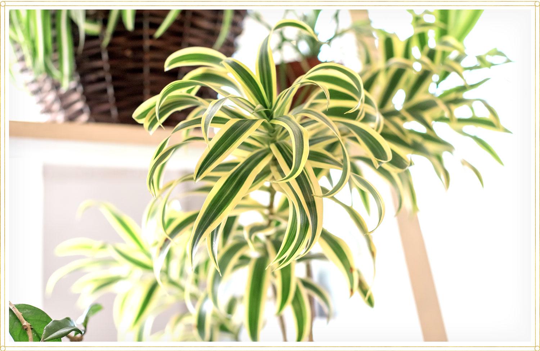 spider plant care chlorophytum laxum zebra