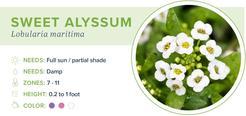 annual flowers sweet alyssum