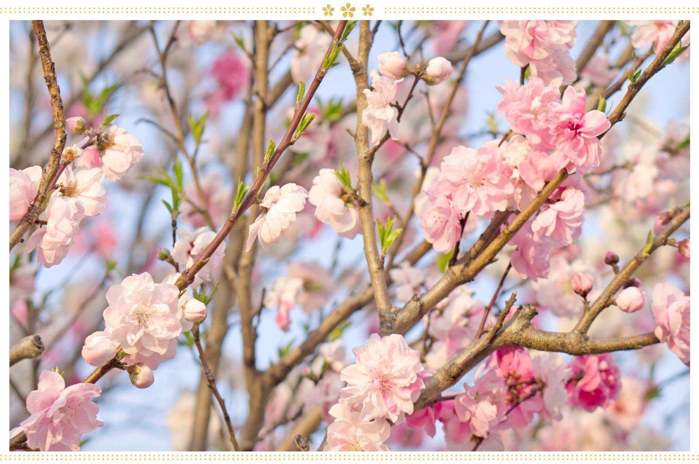 japanese flowers momo