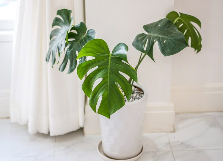 philodendron care tips and tricks