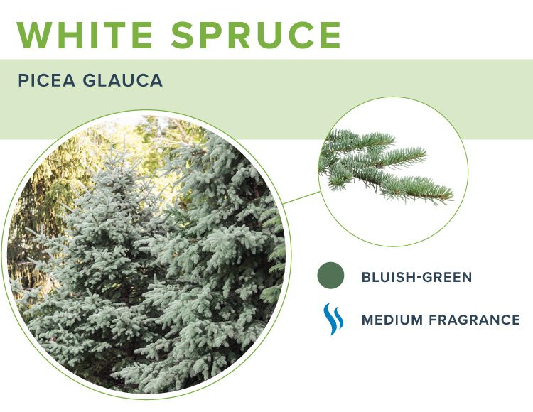 types of christmas trees white spruce