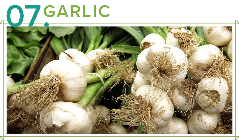 garlic medicinal plants