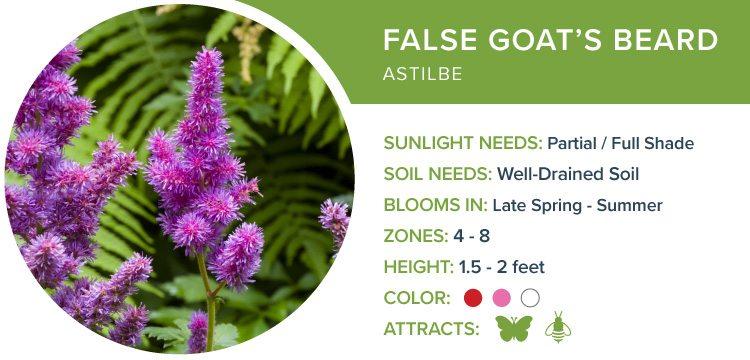 false goats beard best perennials