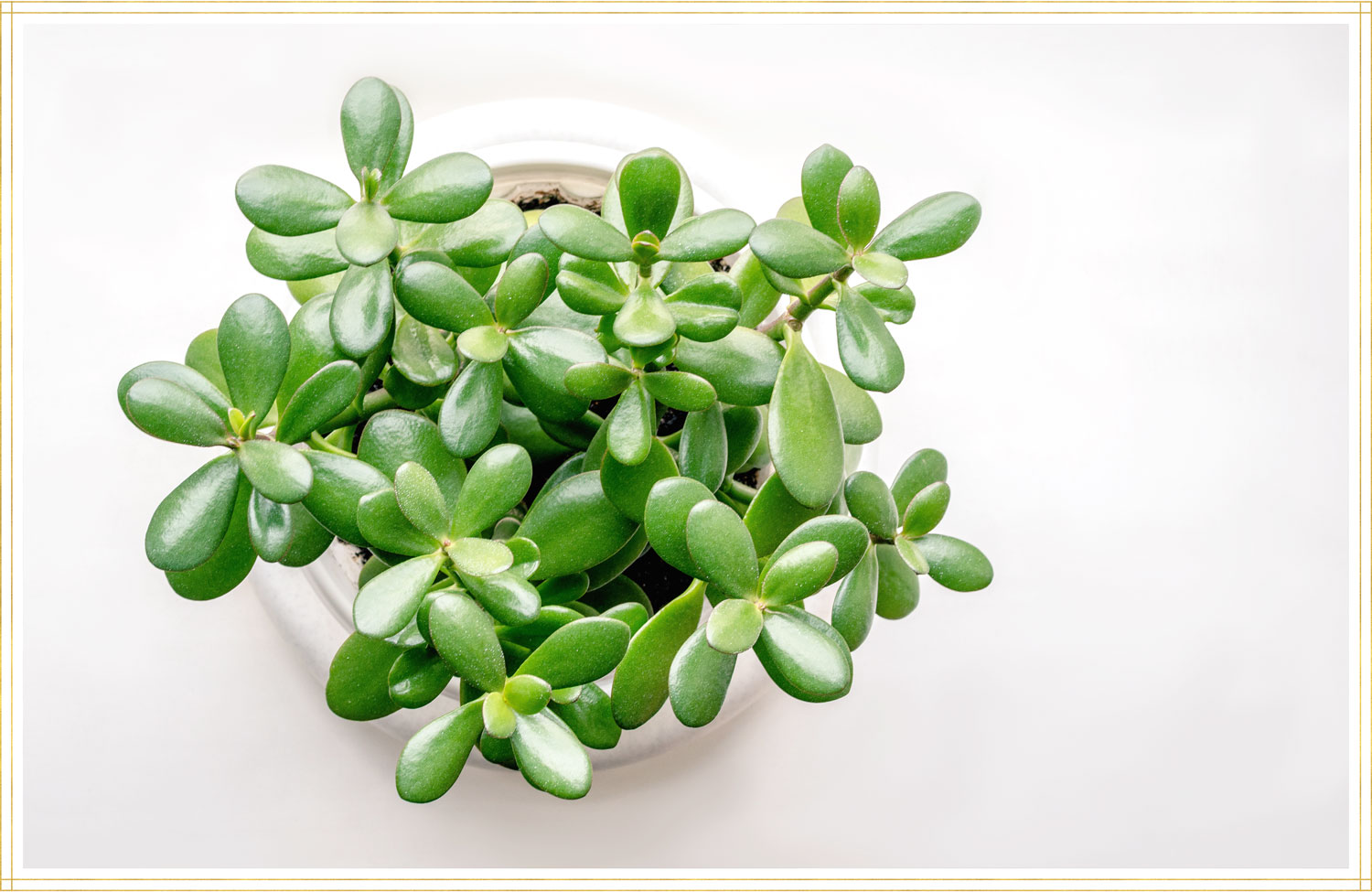 jade plant in a white container on a white table
