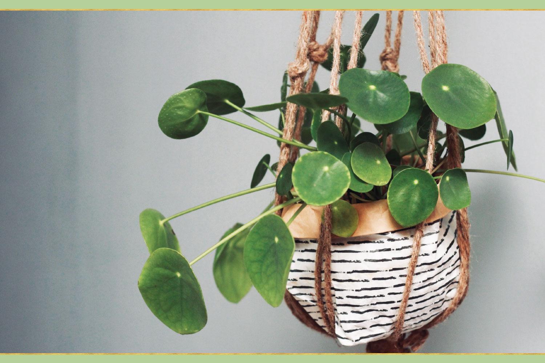 hanging golden pothos plant