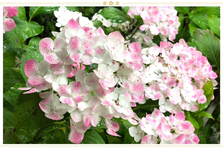 japanese flowers ajisai